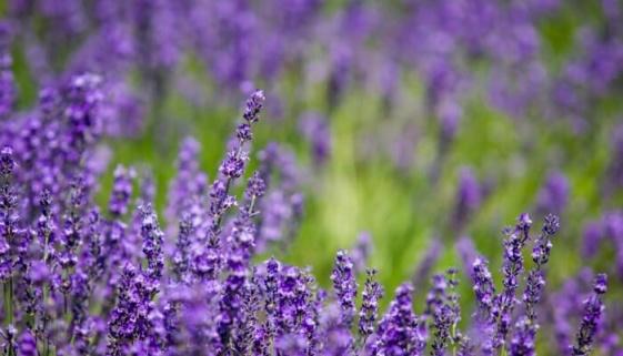 Lavendelblüte auf Mallorca